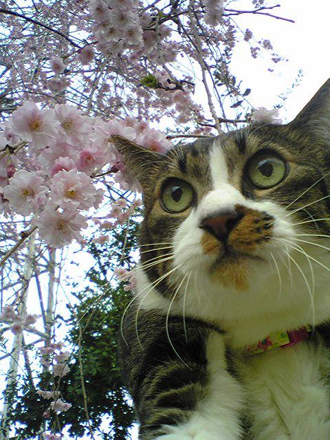 桜と王子さん。